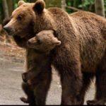 Un urs a atacat mai multe persoane, la o stână. Una dintre victime, internată la Suceava