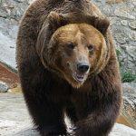 Doi urşi au intrat în curtea unei pensiuni din Săcele şi doar tranchilizați au putut fi scoși și mutați în pădure